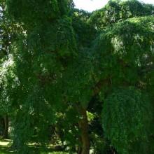Sophora japonica 'Pendula' | habitus