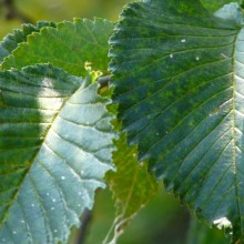 Ulmus hybr. 'Lobel'