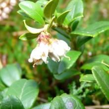 Vaccinium vitis-idaea | květ