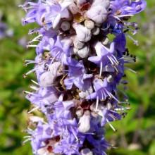 Vitex agnus-castus | květ