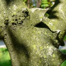Zanthoxylum stenophyllum | trny