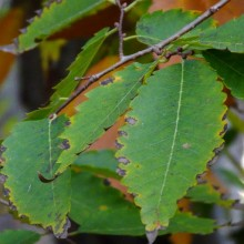 Zelkova serrata | list