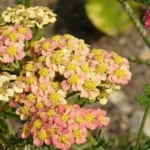Achillea millefolium 'Forncett Flatton'