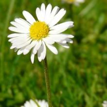 Bellis perennis | květ