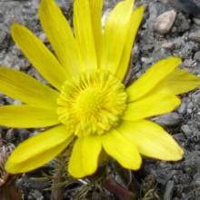 Adonis vernalis | květ