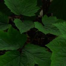 Cimicifuga racemosa | list