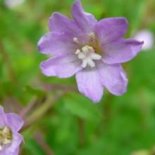 Epilobium montanum | květ
