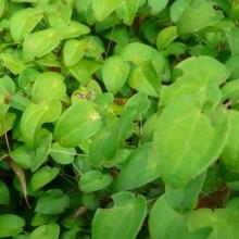 Epimedium grandiflorum 'Nanum'