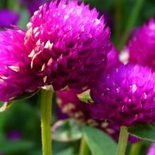Gomphrena globosa | květ