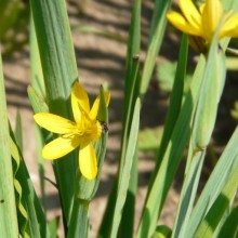 Sisyrinchium californicum