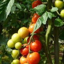 Solanum lycopersicum 'Bejbino F1'