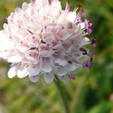 Succisa pratensis 'Pedar's Pink'