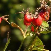 Rosa rubiginosa | šípek