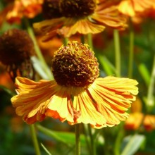 Helenium hybr. 'Riverton Gem'