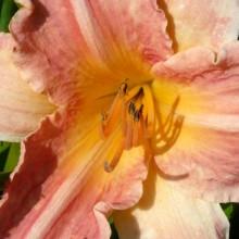 Hemerocallis hybr. 'Chicago Petticoats'