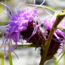 Liatris squarrosa | květ