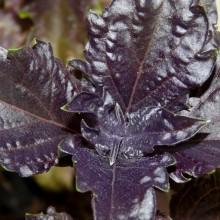Ocimum basilicum 'Purple Ruffles'
