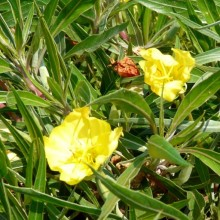Oenothera macrocarpa 'Silver Wings'