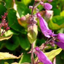 Penstemon unilateralis