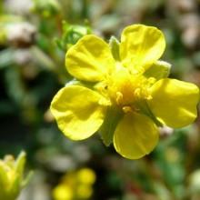 Potentilla parviflora