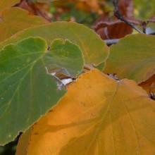 Hamamelis mollis 'Pallida' | list podzim