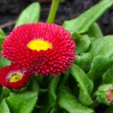 Bellis perennis 'Bellissima Red'