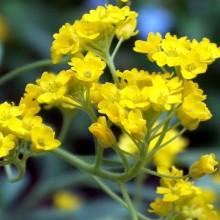 Aurinia saxatilis