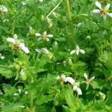 Blumenbachia insignis