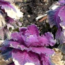 Brassica oleracea 'Red Pigeon'