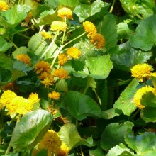 Caltha palustris 'Plena'