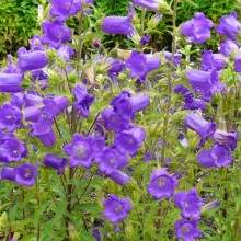 Campanula medium 'Single Blue'