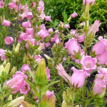 Campanula medium 'Single Rose-Pink'