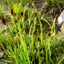 Carex brevicollis