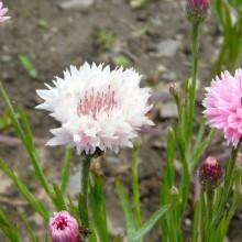 Centaurea cyanus 'Florence Pink'