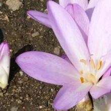 Colchicum laetum