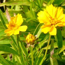 Coreopsis lanceolata 'Goldteppich'