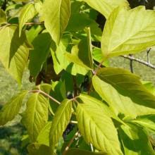 Acer negundo violaceum