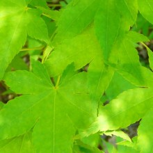 Acer palmatum heptalobum