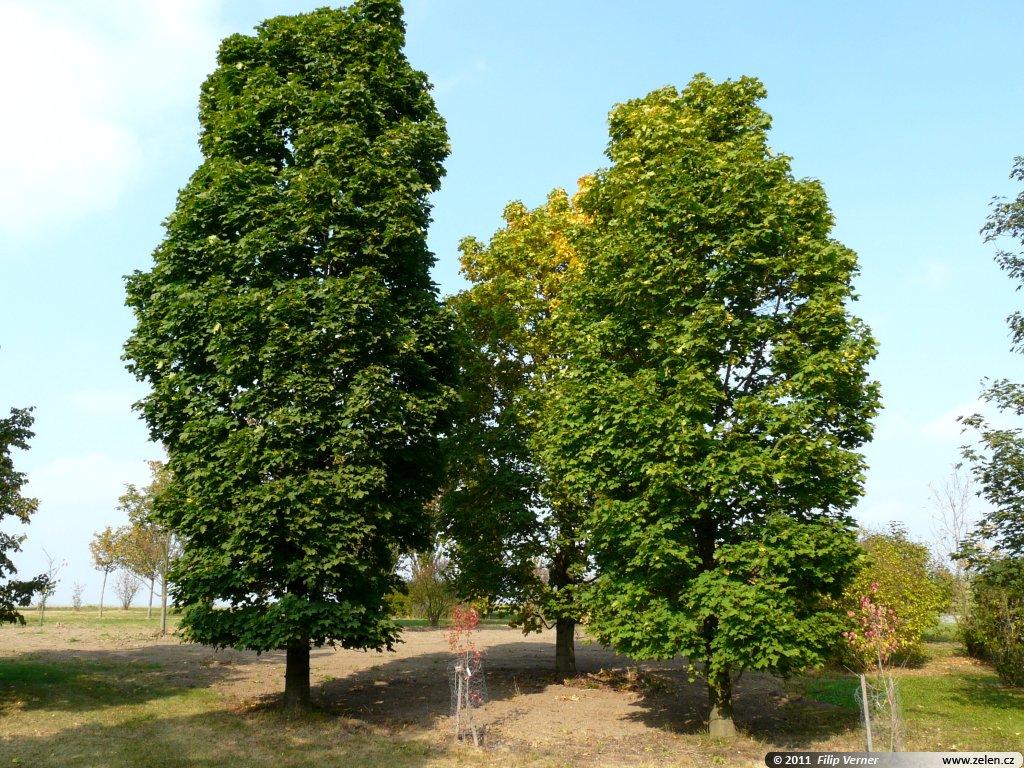 Pin acer platanoides columnare on pinterest - Arce platanoide ...
