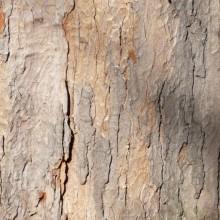 Acer pseudoplatanus | borka