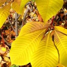 Aesculus parviflora | podzimní zbarvení
