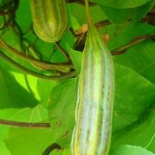 Aristolochia macrophylla | plod