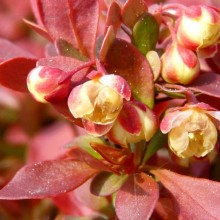 Berberis thunbergii 'Admiration'