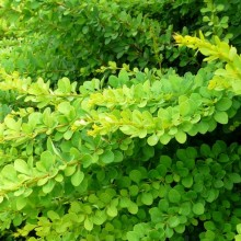 Berberis thunbergii 'Green Carpet'