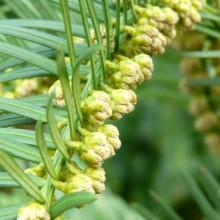Cephalotaxus drupacea | květy