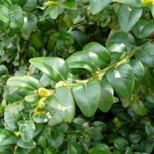 Buxus sempervirens 'Varifolia'