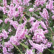 Calluna vulgaris 'Beale'