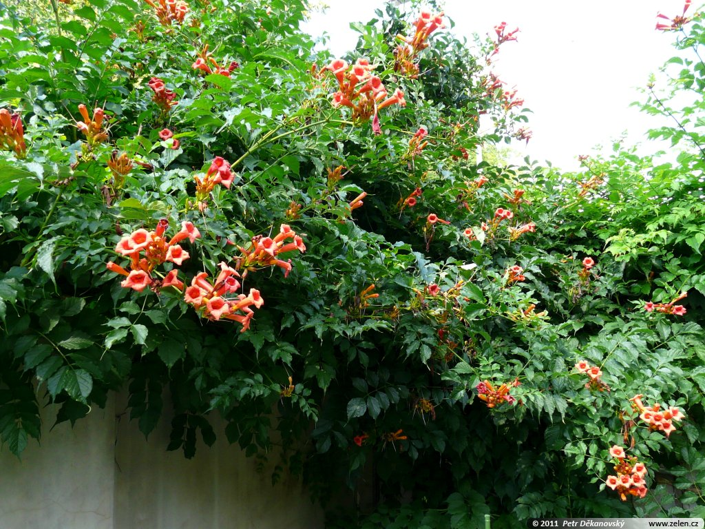 campsis radicans k ivou ko enuj c campsis curtisii. Black Bedroom Furniture Sets. Home Design Ideas