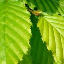 Carpinus betulus | list