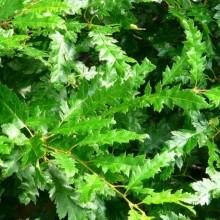 Carpinus betulus 'Incisa'
